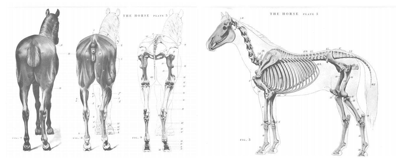 Hermosa Anatomía Del Esqueleto De Un Caballo Modelo - Imágenes de ...